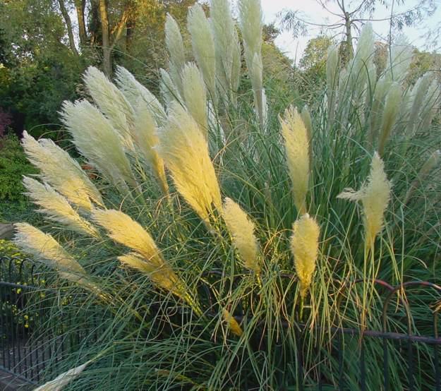 Doug Green's Garden - Porch - pampas grass