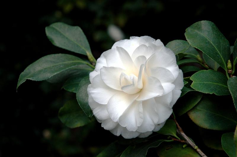 Verso - camellias