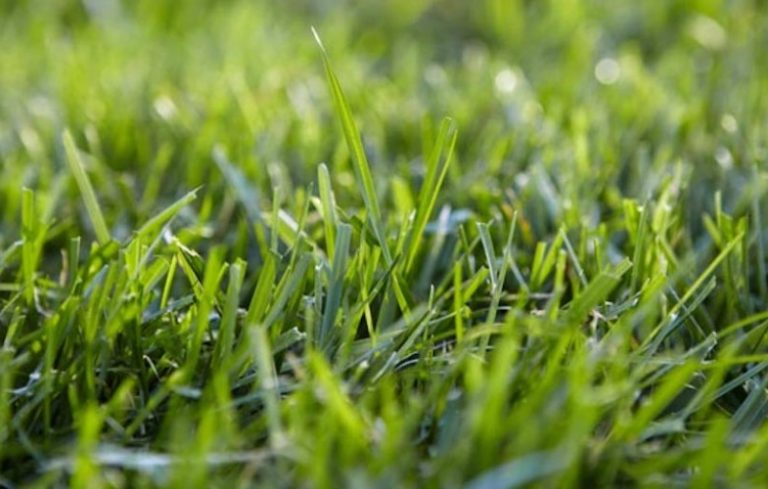5 Low Water Lawns That Stay Green Under Pressure Porch