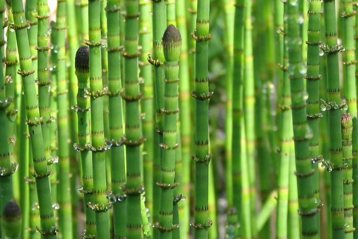 MTPMCG - Porch - horsetail grass