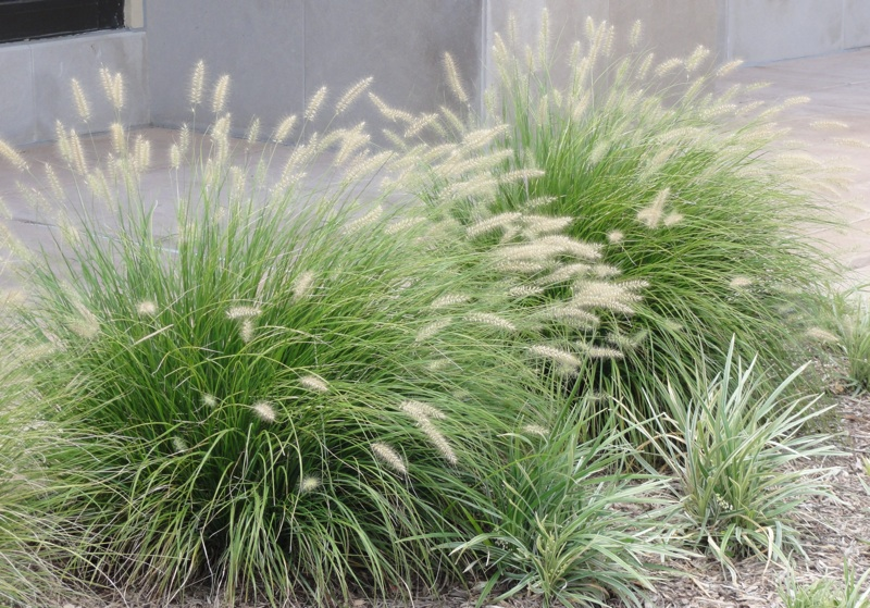 10 garden favorites you didn 39 t know were invasive porch for Blue fountain grass