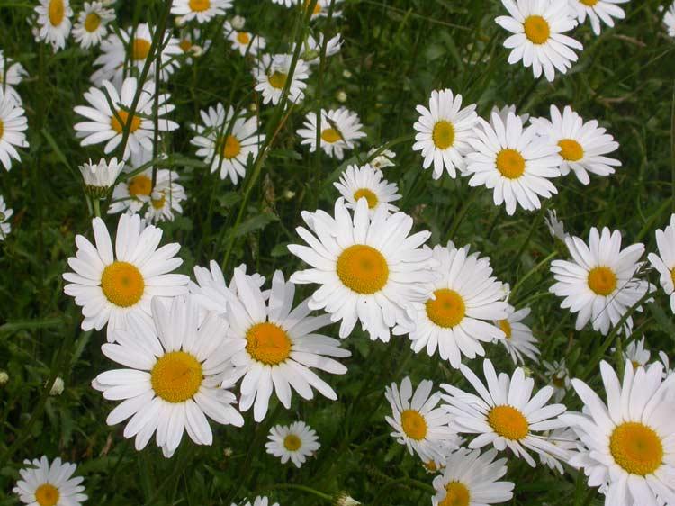 Plantlife - Porch - ox-eye daisy