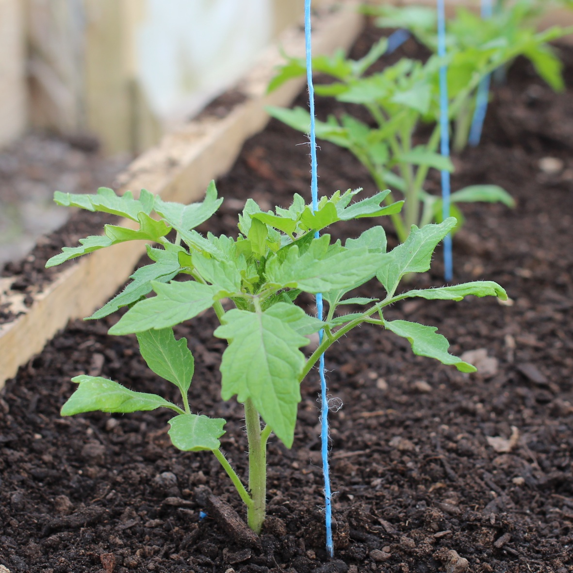 lovely planting tomato plants Part - 5: lovely planting tomato plants good ideas