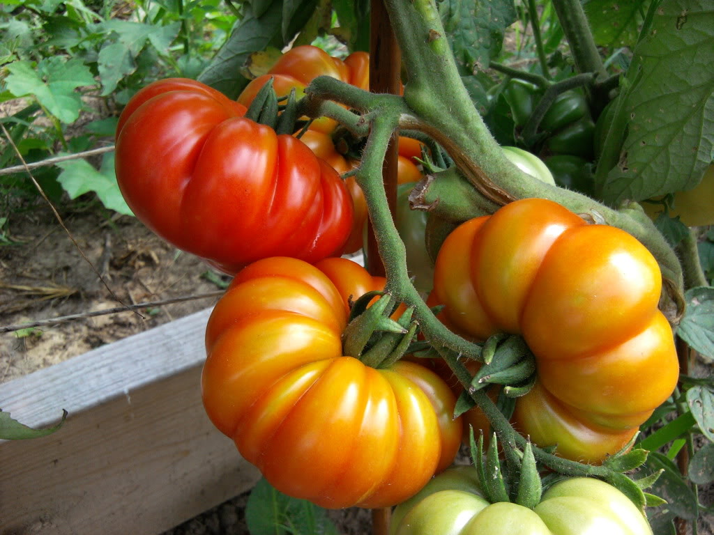 The Complete Guide To Growing Great Tomatoes Yourself Porch Advice