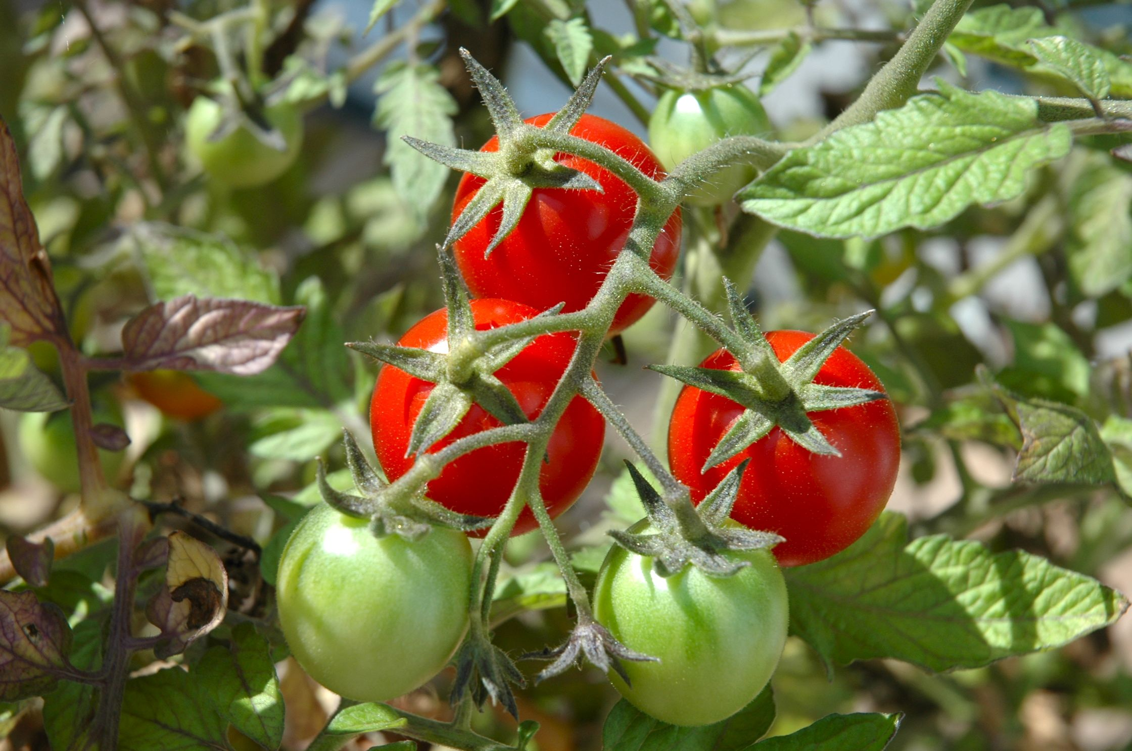 How to plant tomatoes in a garden - The Taste Revelation Tomatoes
