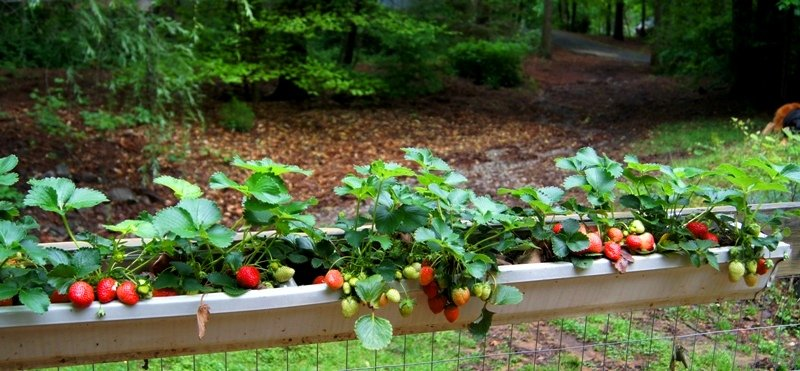 The-Wannabe-Country-Girl-hanging-strawberry-gutter-garden