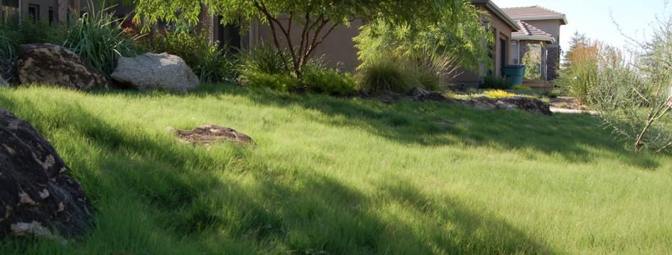 Takao Nursery - UC Verde Buffalo Grass