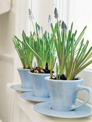 Bulbs can be grown in small containers too, like these tea cups. Image credit: Country Living