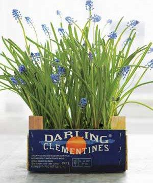 This mass of grape hyacinths look so pretty in an old fruit crate. Image credit: Real Simple