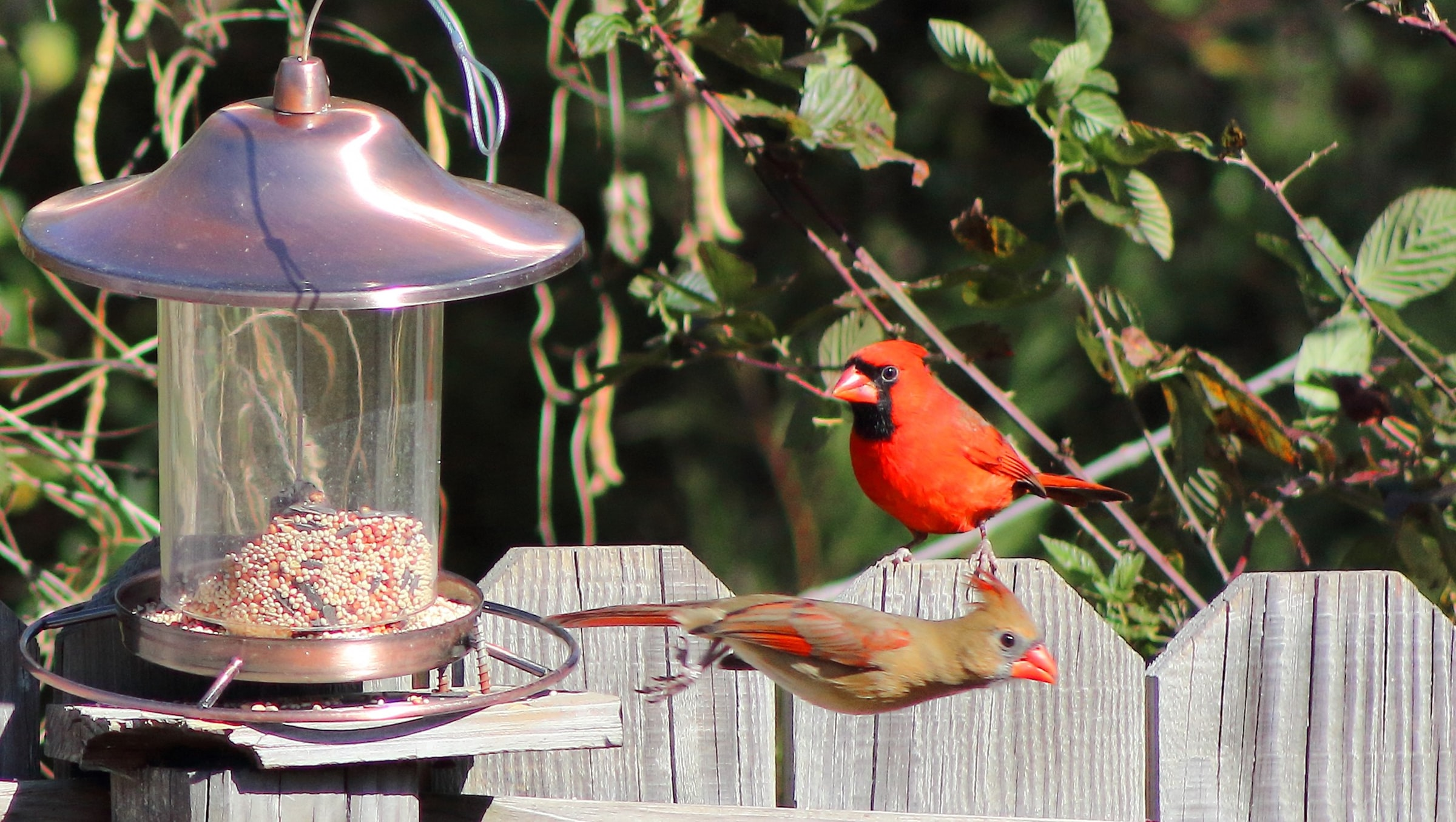 A bright read male cardinal and a pink female cardinal at a birdfeeder