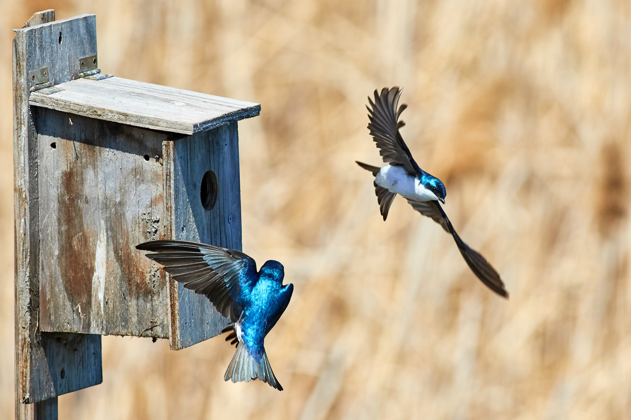 Two blue birds flying in front of a birdhouse